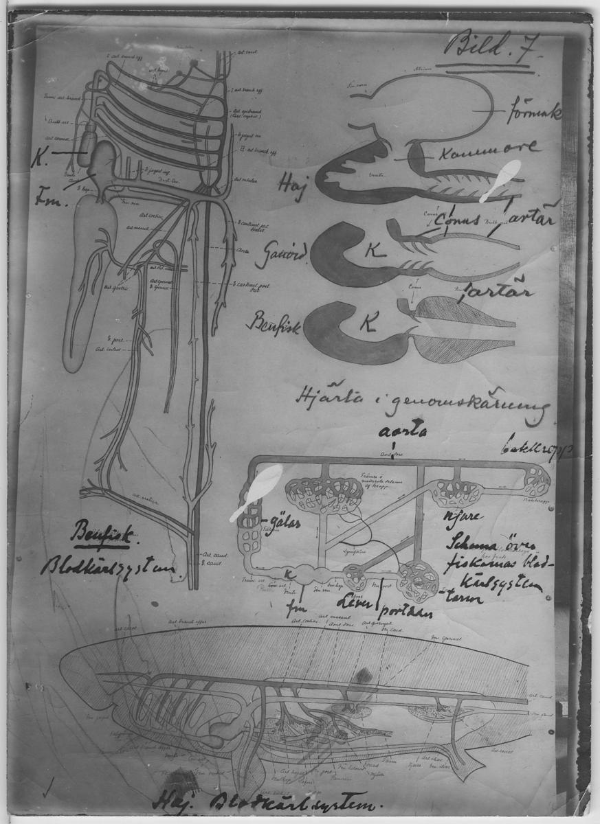 'Teckning av blodkärlsystem hos benfisk respektive haj samt hjärta i genomskärning hos haj, ganoid samt benfisk. Även schema över fiskarnas blodkärlsystem. Latinska namnen på organens delar utsatta. :: Anteckning ''Bild 7'' och handskrivna anteckningar i bläck och blyerts på ett exemplar. ::  :: ''Fotografier använda vid dissektionskursen våren 1928'' . :: Avfotograferade teckningar på skelett och organ. :: På baksidan av vissa står det Kerstin Nyblén :: V.T.-18 :: ur bok'