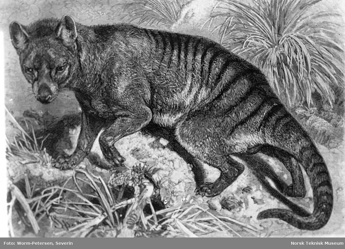 Phalangista vulpina og et ukjent pattedyr