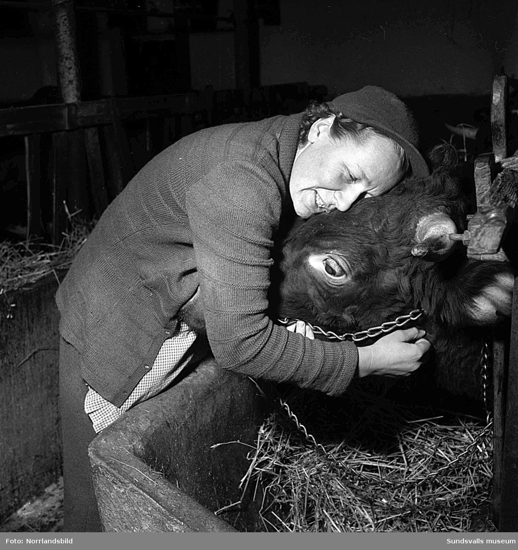 """Reportagebilder från familjen Jonssons gård i den oskiftade byn Hängsta i Indal. I reportaget berättas om fadern Petrus Jonsson som huggit och kört i skogen under mer än 60 års tid. """"Är man frisk och kry så finns det ingen anledning att ligga och lata sig, och förresten så finns det inte folk att få för skogsarbete."""" Numera har han sällskap av sonen Edvin som jobbar tillsammans med sin favorithäst Brua-Viga, en 13 år gammal nordsvensk som under årens lopp sprungit hem åtskilliga tusenlappar på travet i Bergsåker. Hushållet och ladugården med de tio mjölkkorna sköttes av dottern Astrid. Mjölkmaskinen var till stor hjälp för att få jobbet gjort och mjölkkrukorna skulle vara levererade ner till stora landsvägen strax efter klockan sju varje morgon. På en av bilderna ses Astrid med gårdens tjur Norafors-Hero. """"Man vinner djurens förtroende med en vänlig kram någon gång då och då."""""""