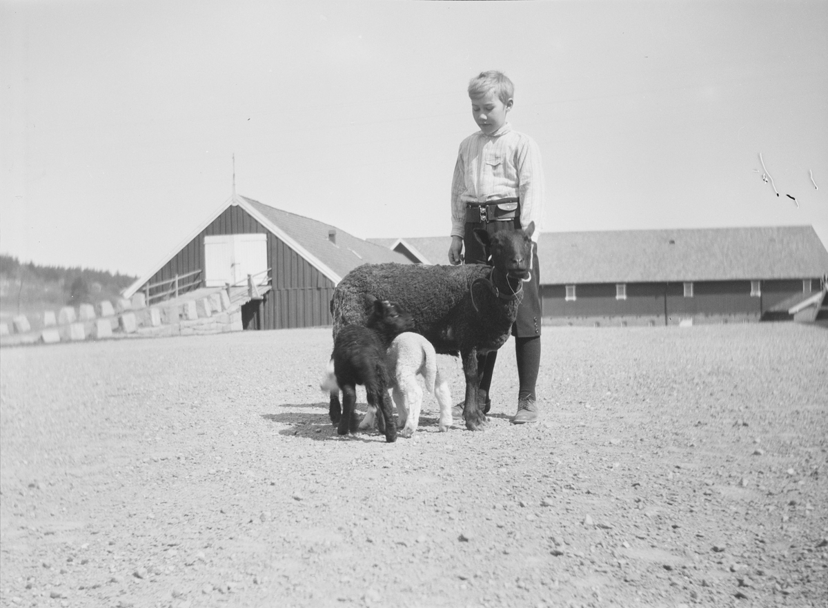 Iacob Ihlen Mathiesen klapper en søye, med mørk ull, på gårdsplassen til Linderud Gård. To lam, ett lyst og ett mørkt vil gjerne drikke melk fra søya. I bakgrunnen sees driftsbygninger med låvebru.