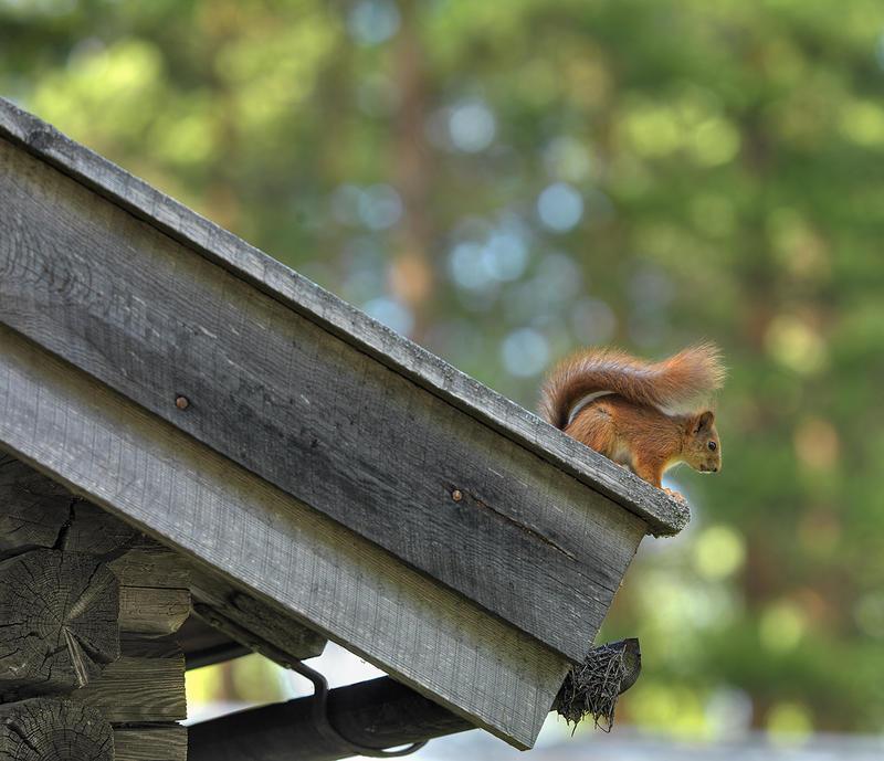 Ekorn på hustaket (Foto/Photo)