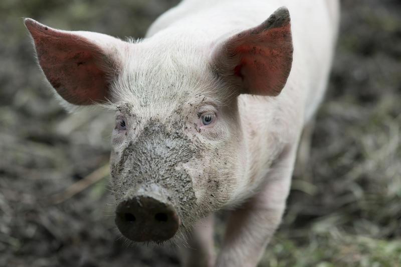 Nærbilde av gris