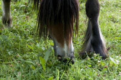 Nærbilde av hest som beiter