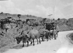 Fora med sockerrör. På vägen till Matanzas. Januari 1918