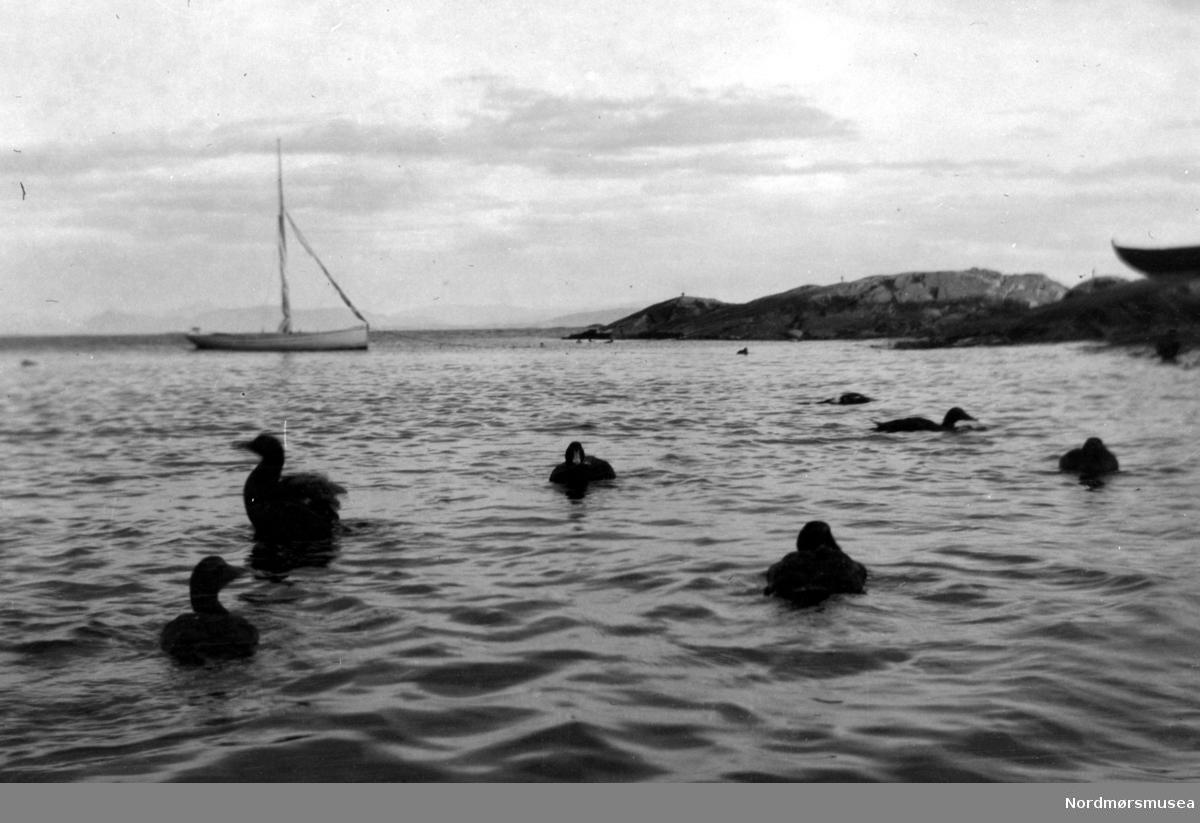 Ender svømmende ute i havgapet med en seilbåt i bakgrunnen. muligens fra Kristiansund. Fra Nordmøre museums fotosamlinger.