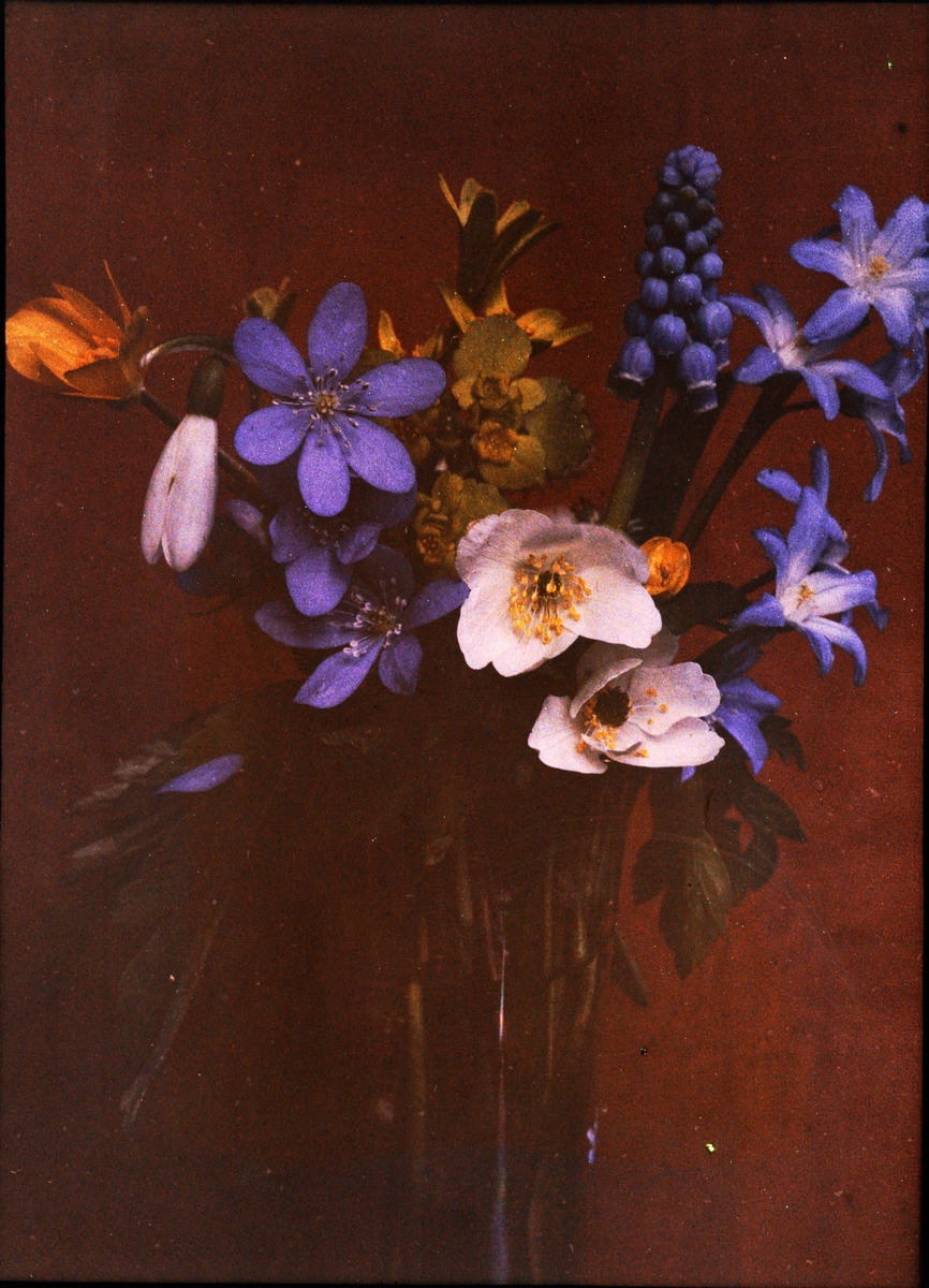 Lumières-autokrom. Blå och vitsippor m m. Görbersdorf Schlesien. Fotograferad i april 1910 f/48, 5 min. exponering.