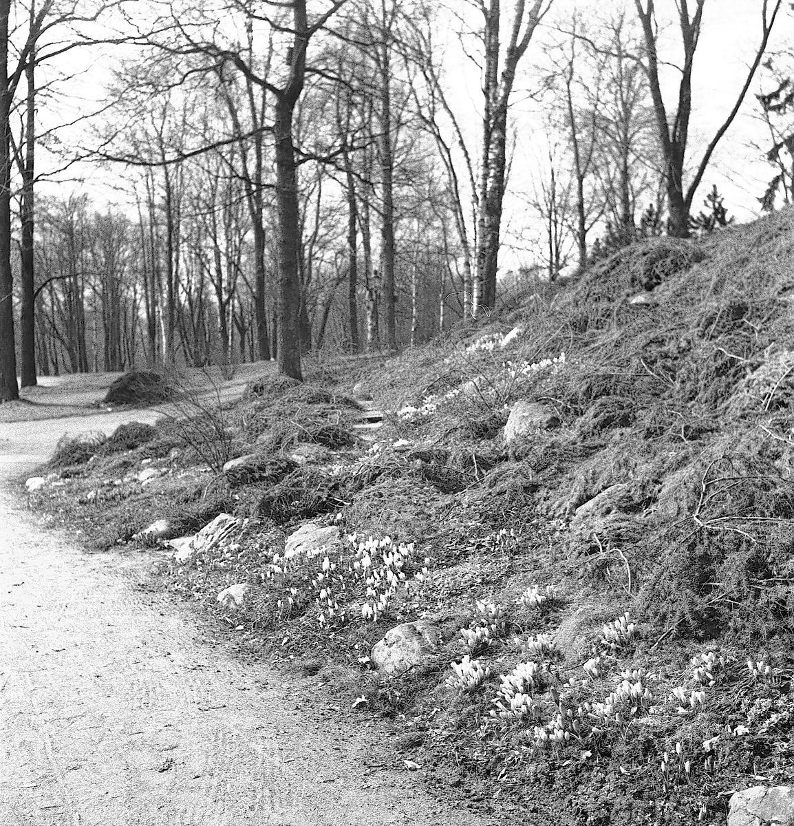 Blommor i Stadsträdgården. April 1944