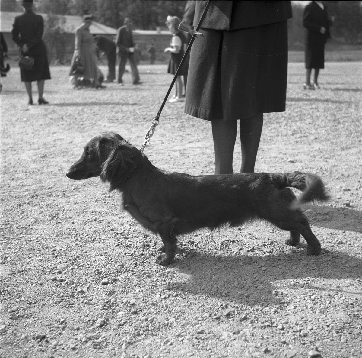Hundutställning. 15 maj 1949.