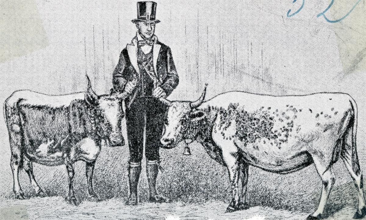 Halvor M. Midbøen frå Morgedal på landbruksmøte i Gøteborg i 1871 med to kyr som blei sendt til kongens gard, Berghamra ved Ulrikstad i Sverige.