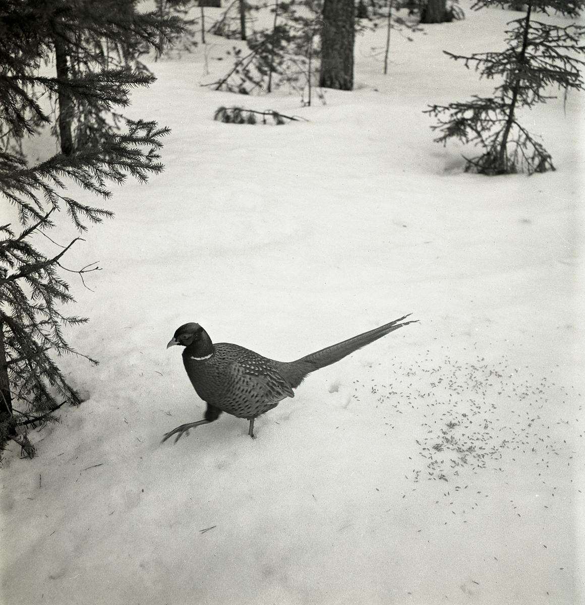 Med långa steg pulsar fasanen genom snön en aprildag 1951 i Glössbo. Bredvid fågeln ligger havrekorn utkastade som inte kommit från omgivande skogsväxtligheten av gran och tall. Troligen är det fotografen som försökt mata fasanen.