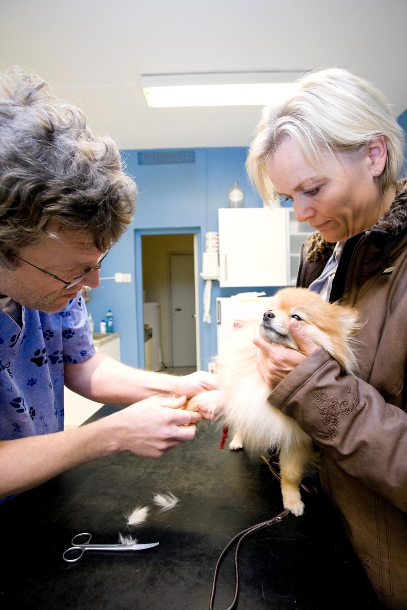 Hund hos veterinær. Hundeeieren holder hunden av rasen pomeranian mens veterinær gir den en injeksjon i poten.
