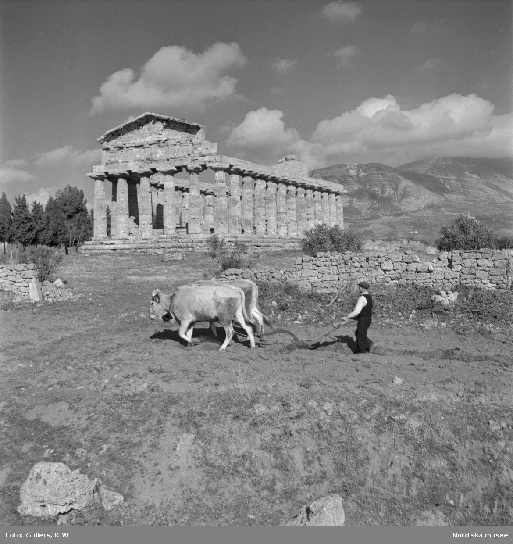 En bonde med oxar som plogar framför ett av Paestums grekiska tempel.