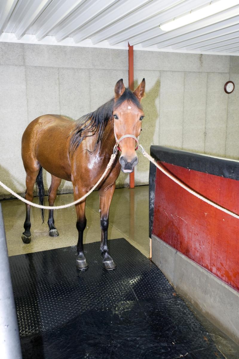 Svømme- og rehabiliteringssenter for hest. Hest venter før svømmeturen i svømmebassenget.