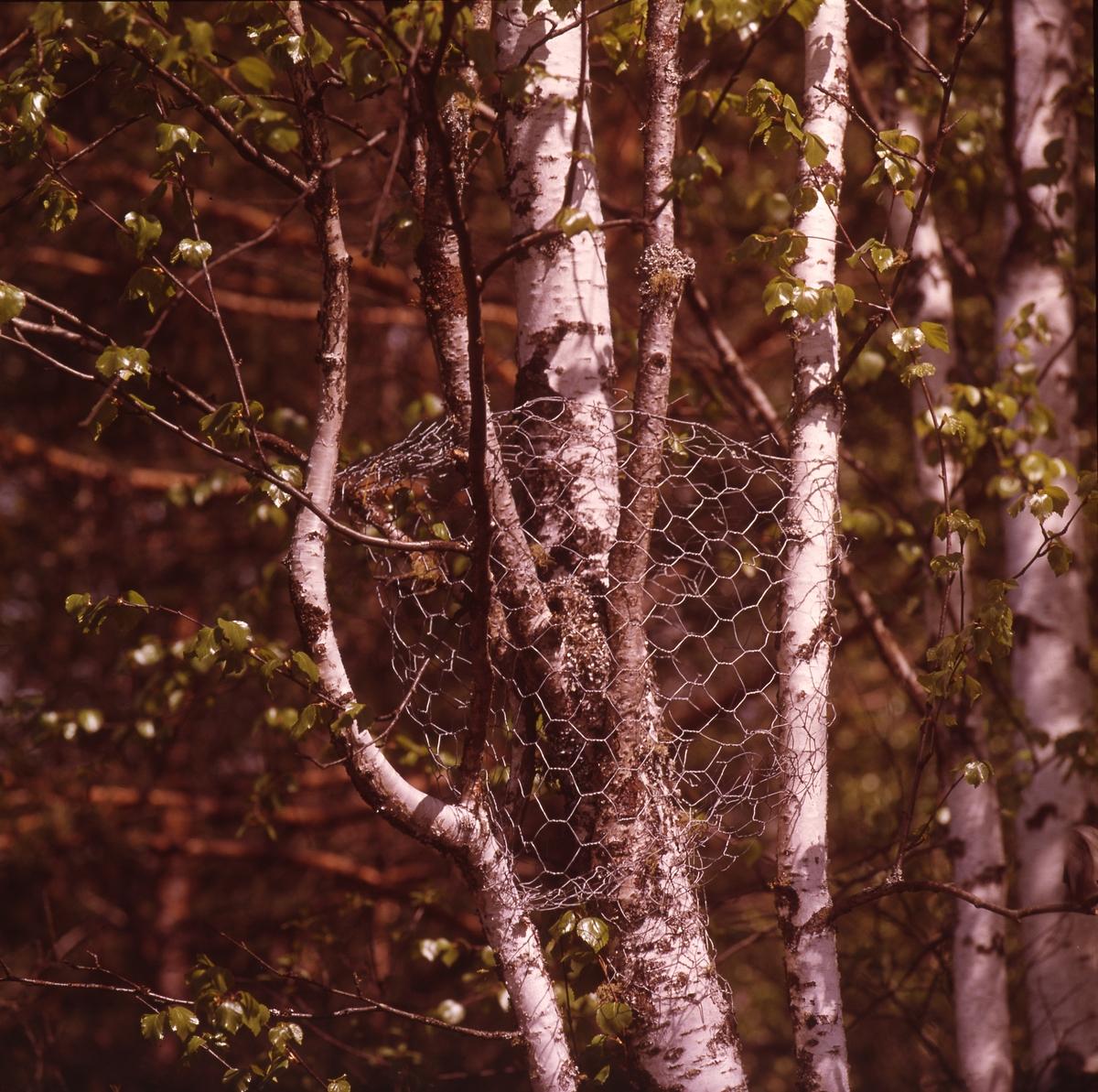Björkstammar där en grenklyka är inhägnad av hönsnät.