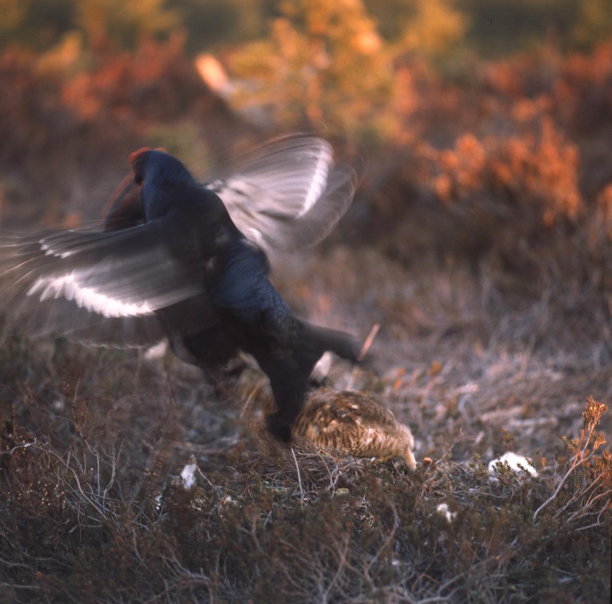 Två orrtuppar slåss om en höna som man skymtar på marken.