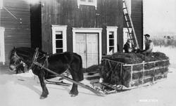 Kjøring av markhøy 1940-42. Fra høyre: Reidar Røsten, Åsmund