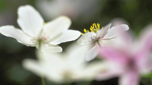 hvitveis.jpg. Foto/Photo