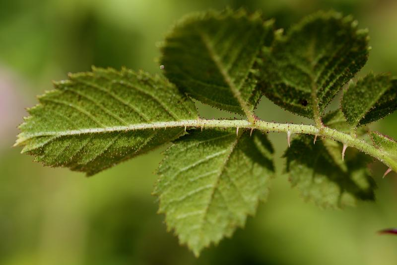 Undersiden av en kvist med seks roseblader. Nervene i bladene synes tydelig.