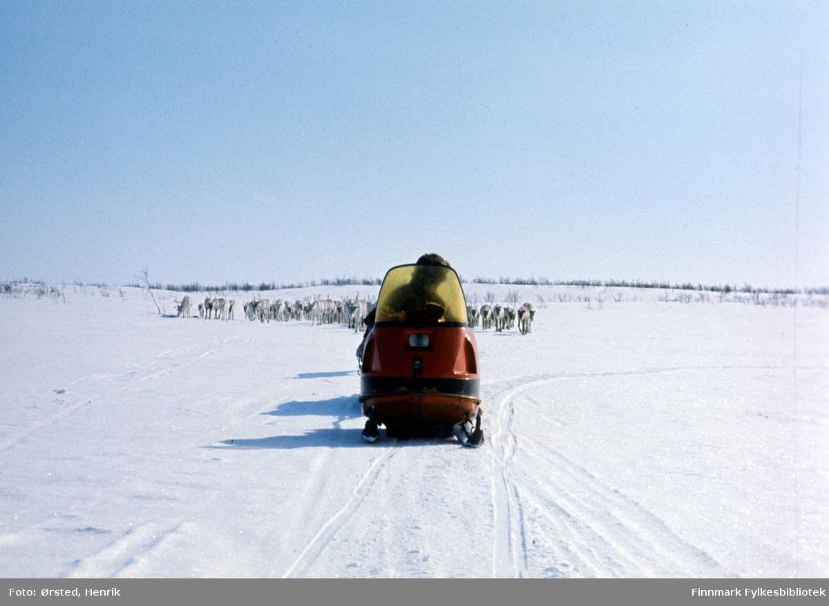 """Postfører Mathis Mathisen Buljo, bedre kjent som """"Post-Mathis"""" i samiske kretser, har kommet frem til et av sine stopp på postruta. Her ser vi reindriftssamer i arbeid på Finnmarksvidda. En rein er bundet fast etter skuteren og resten av flokken følger etter.   Fotograf Henrik Ørsteds bilder er tatt langs den 30 mil lange postruta som strakk seg fra Mieronjavre poståpneri til Náhpolsáiva, videre til Bavtajohka, innover til øvre Anárjohka nasjonalpark som grenser til Finland – og ruta dekket nærmere 30 reindriftsenheter. Ørsted fulgte «Post-Mathis», Mathis Mathisen Buljo som dekket et imponerende område med omtrent 30.000 dyr og reingjetere som stadig var ute i terrenget og i forflytning. Dette var landets lengste postrute og postlevering under krevende vær- og føreforhold var beregnet til 2 dager. Bildene gir et unikt innblikk i samisk reindriftskultur på 1970-tallet. Fotograf Henrik Ørsted har donert ca. 1800 negativer og lysbilder til Finnmark Fylkesbibliotek i 2010."""