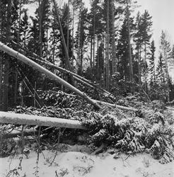 Omkullblåst skog i Söderfors, Söderfors socken, Uppland, jan