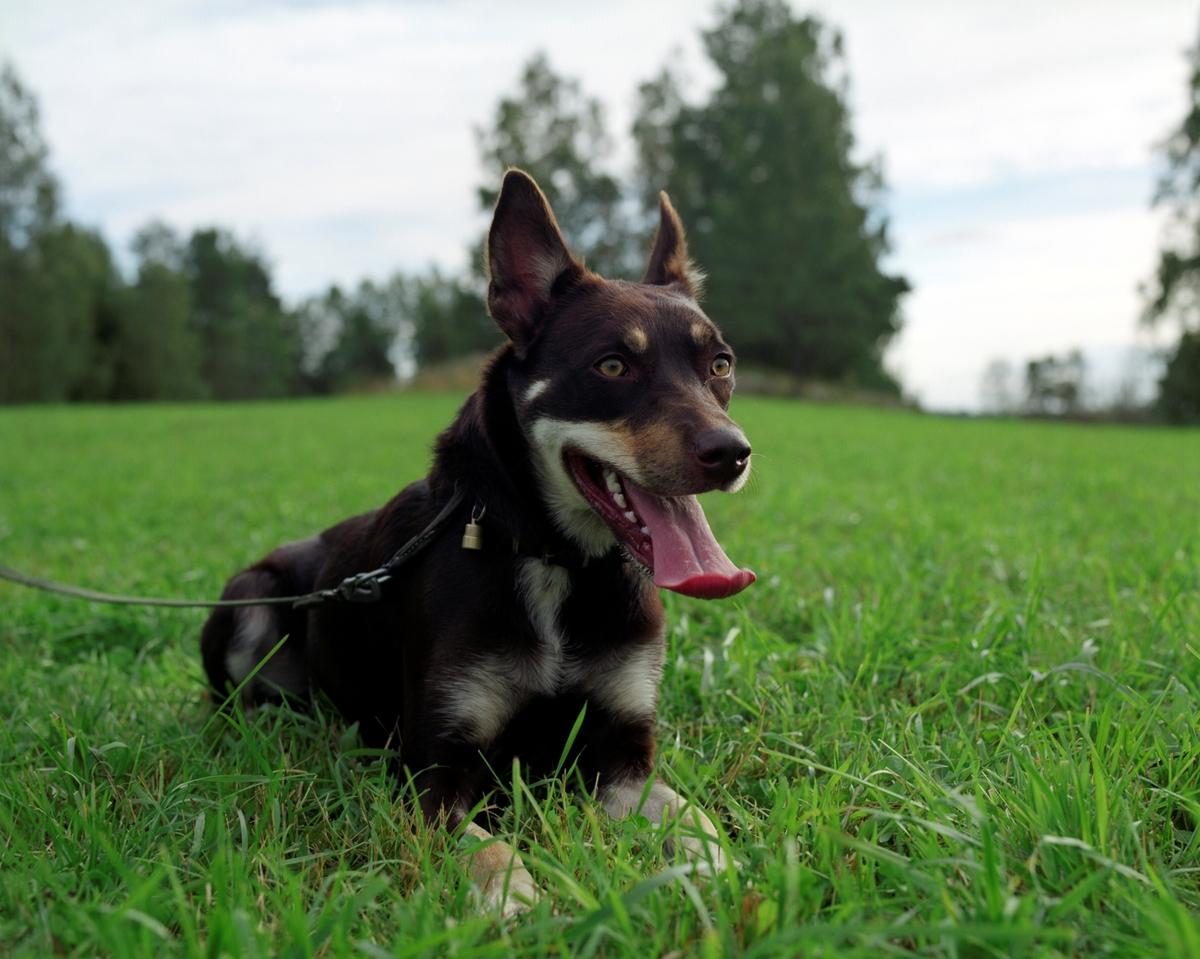 Hunden Ronja er en australian working kelpie