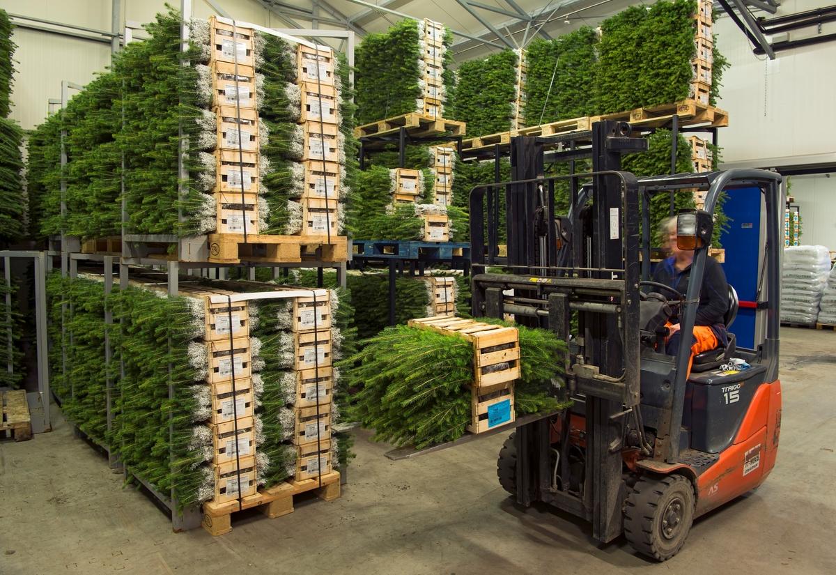 Fra kjølelageret ved Biri planteskole (Skogplanter Østnorge AS) i Oppland, der plantematerialet holdes i en fysiologisk hviletilstand ved en temperatur på 3-4 plussgrader i påvente av salg og utplanting.  Fotografiet viser hvordan plantene var pakket rammer eller kasser av tre og satt på paller som kunne kjøres inn og ut av lageret ved hjelp av gaffeltruck.  Til venstre i forgrunnen sto det et par paller med med pluggrotplanter av gran, til høyre ser vi et parti med furuplanter.  Rotpluggene var innkapslet i tynn plastfolie og lagt vekselvis den ene og den andre vegen, slik at plantetoppene stakk ut på begge sider.  Disse plantene var behandlet med insektmiddelet «Merit Forest», men Biri planteskole leverte også planter som var beskyttet mot snutebilleangrep ved hjelp av voksbehandling.  Emballert på denne måten kan plantene tas ut av kjølelageret og stå ei til to uker før utplanting med hullpipe.  Ved lengre lagringstider på kulturfeltene anbefales det at plantene settes på bakken og vannes.