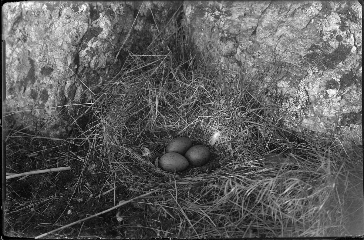 Ett trutbo med tre ägg i.