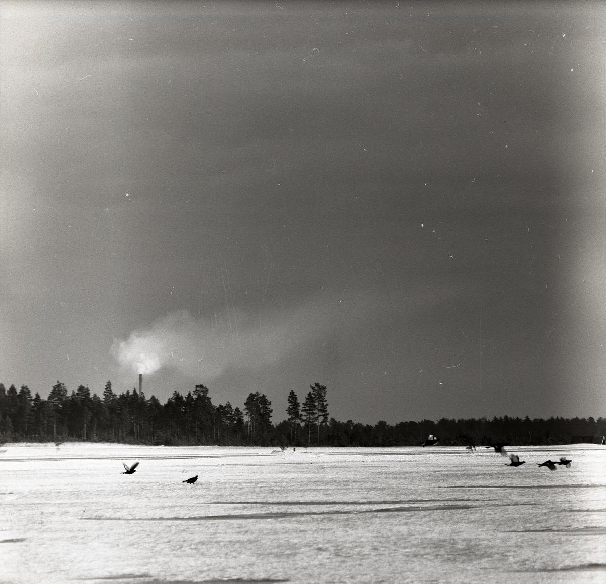 Flygande orrar vid F15 i Söderhamn, 1957.