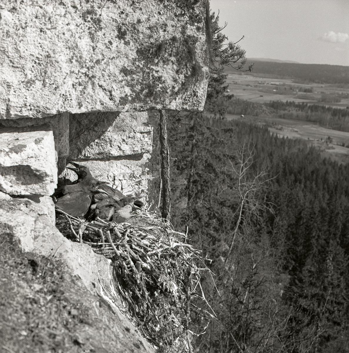 Korp sitter i fågelbo med ungar.  Det ligger på en klippa med vy över landskap med skog, maj 1962.