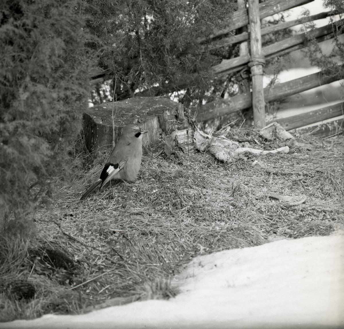 En nötskrika sitter vid en stubbe i mars 1973.