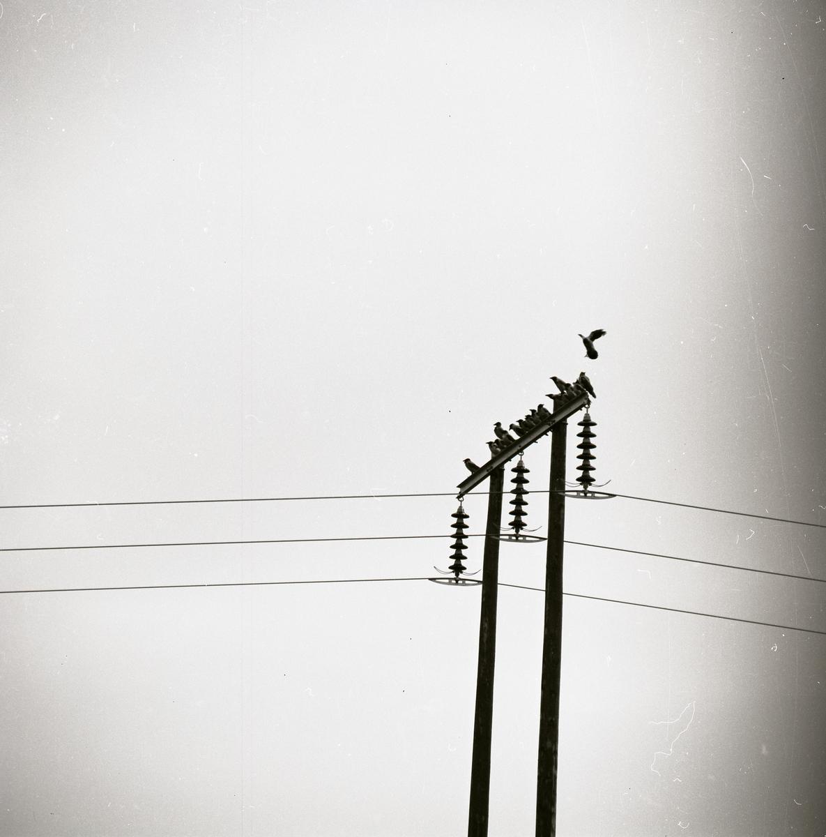 Några kråkor sitter på en kraftledning 1972.