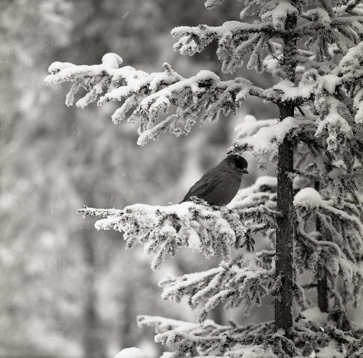 En lavskrika sitter i en snöig gran i Hälsen den 22 februari 1970.