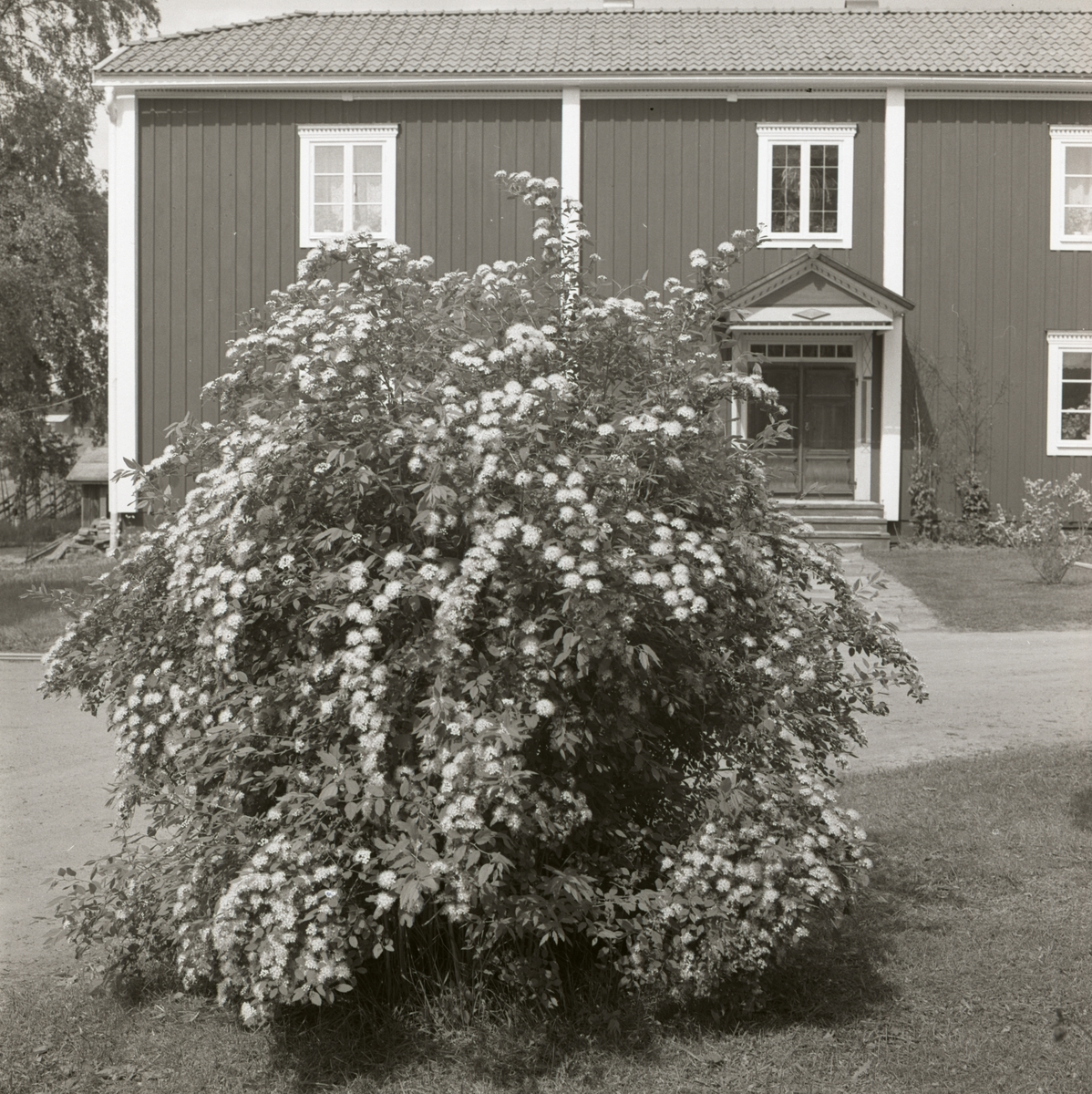 En blommande buske framför bostadshuset vid gården Sunnanåker, 1972.