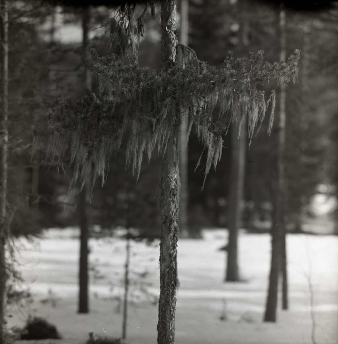 En tallgren täckt av lav vid Hölesjöån, vårvintern 1958.