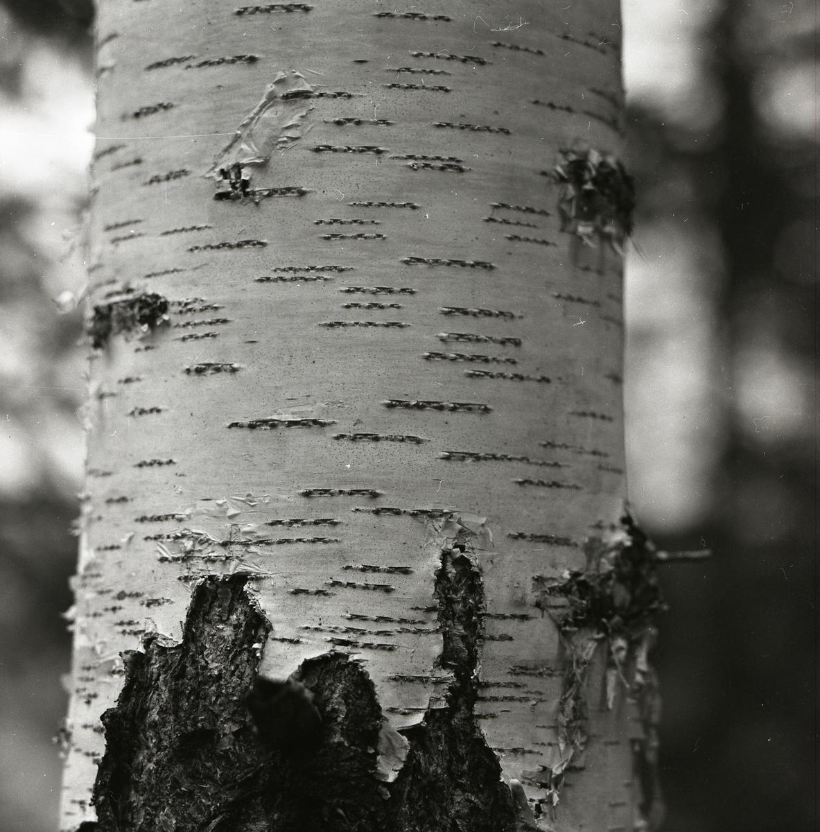 En björkstam med smala ränder i Nordanhöle den 3 maj 1959.