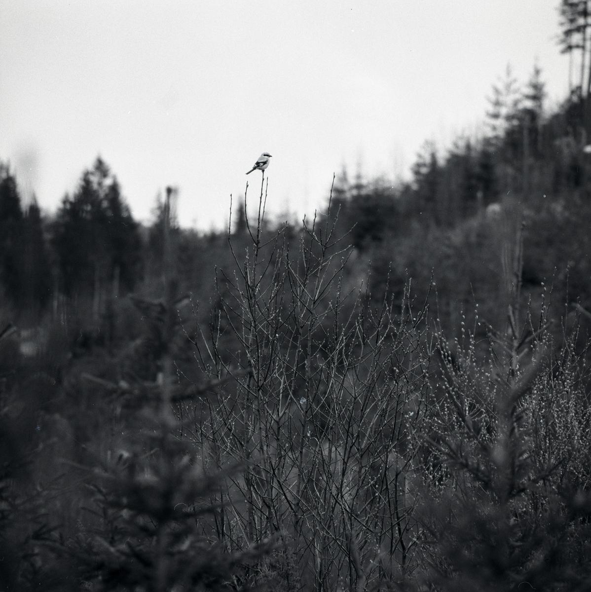 En björktrast sitter på gren i skogen.