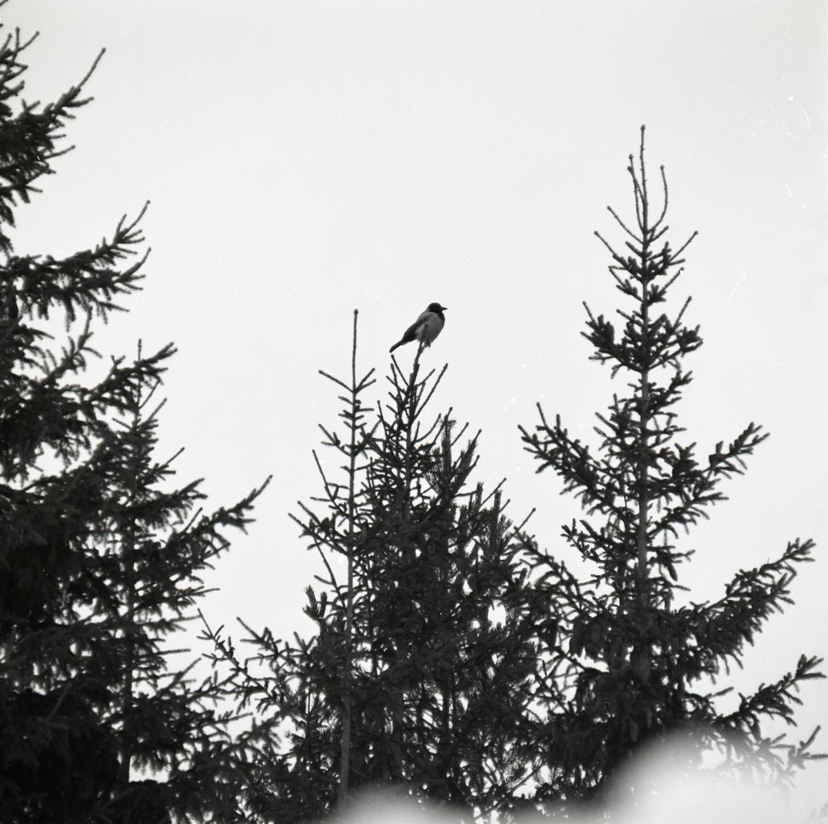 En kråka sitter högst upp i en gran.