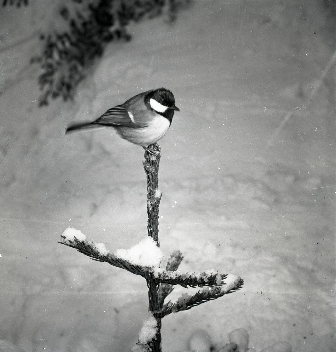 En talgoxe sitter i toppen på en gran.
