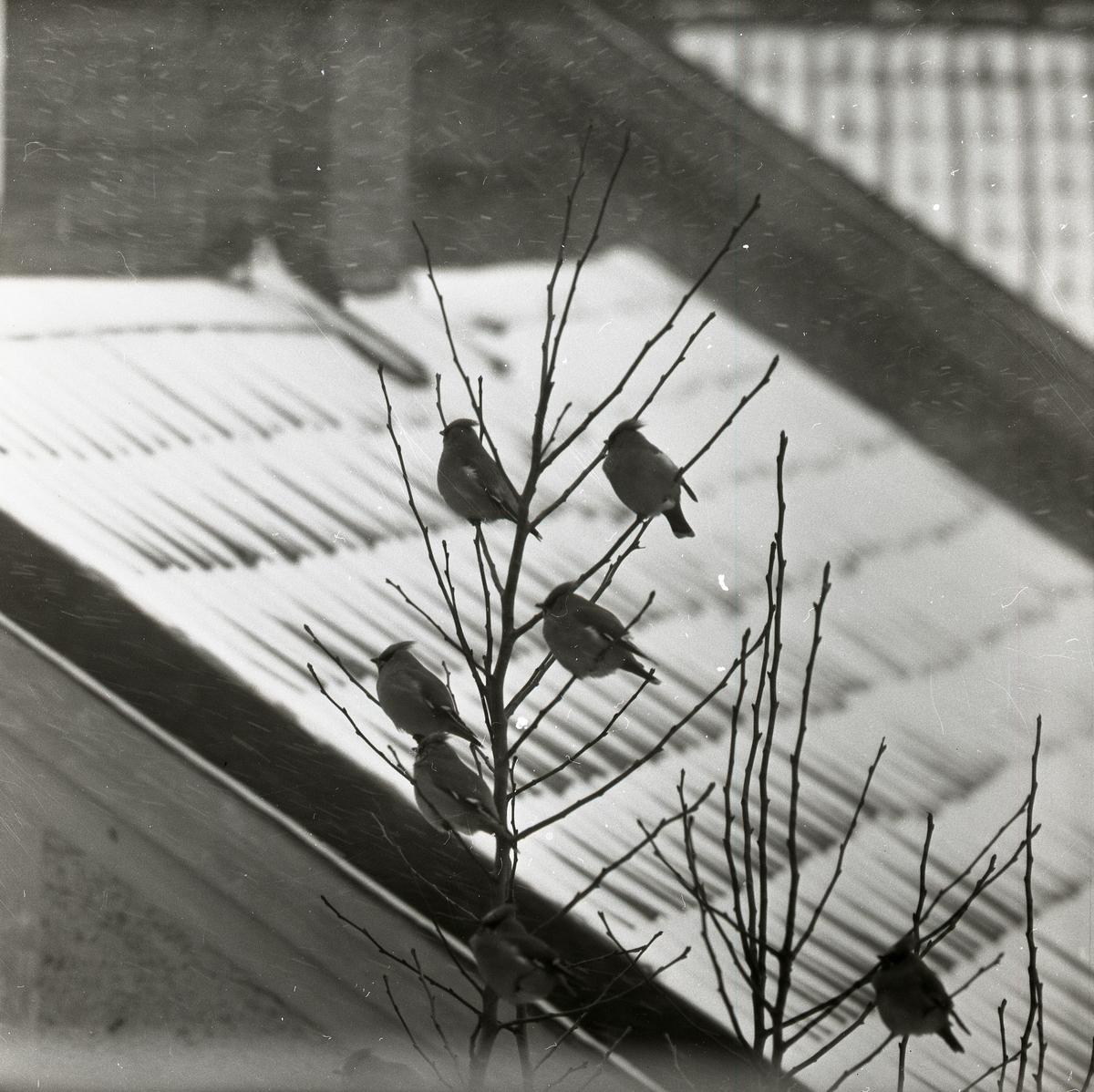 Några sidensvansar sitter i ett träd i Västervik 1957.