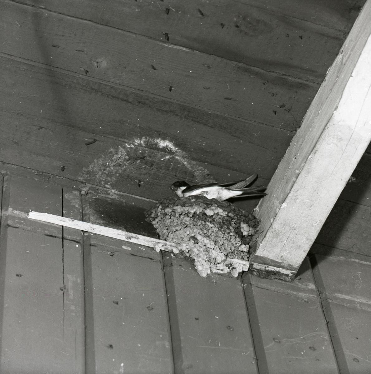 En hussvala bygger bo, 1960.