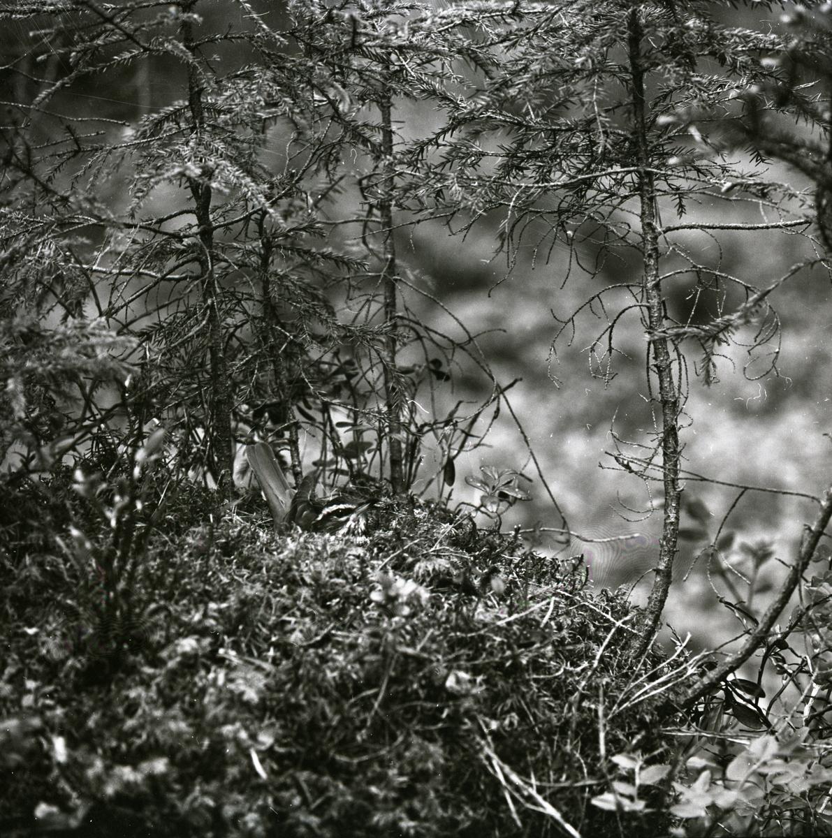 En rödvingetrast ligger i sitt bo, 1961.