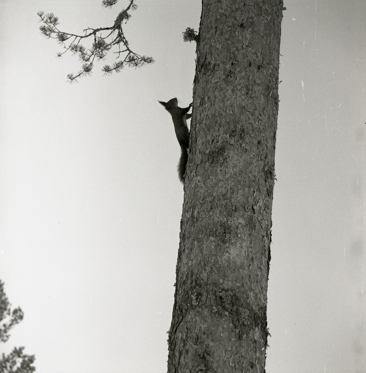 En ekorre klättrar upp på en tallstam i Ulva, 1966.