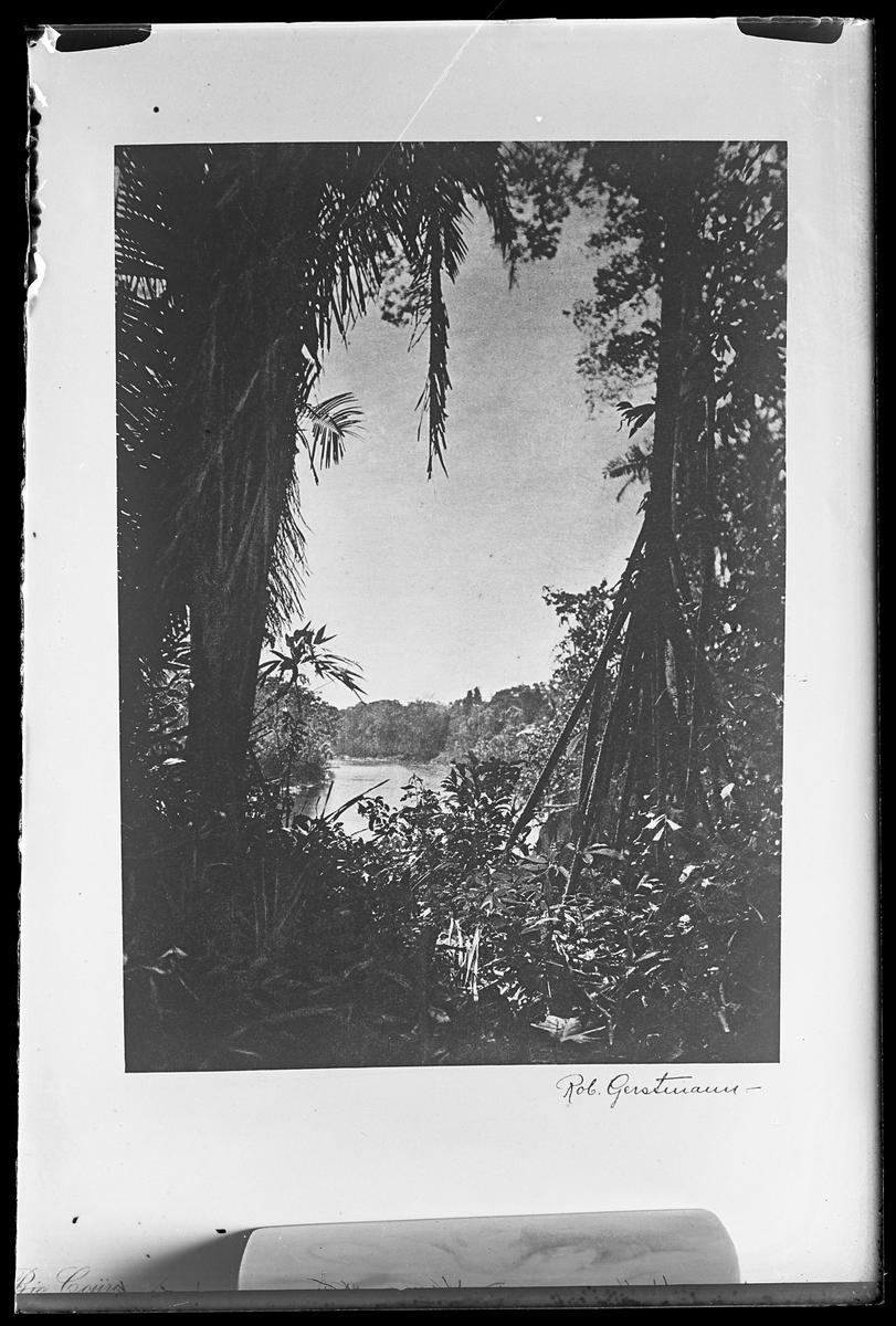 """Mellan grenar och stammar i ett djungellandskap syns ett vattendrag. Bilden är signerad Rob. Gerstmann och reprofotograferad av Harald Olsson. I Olssons anteckningar står det """"27 rep. för Folke Olsson""""."""