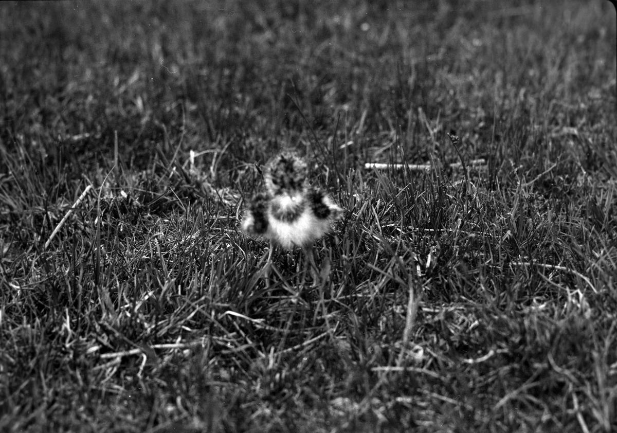 En tofsvipeunge på gräset.