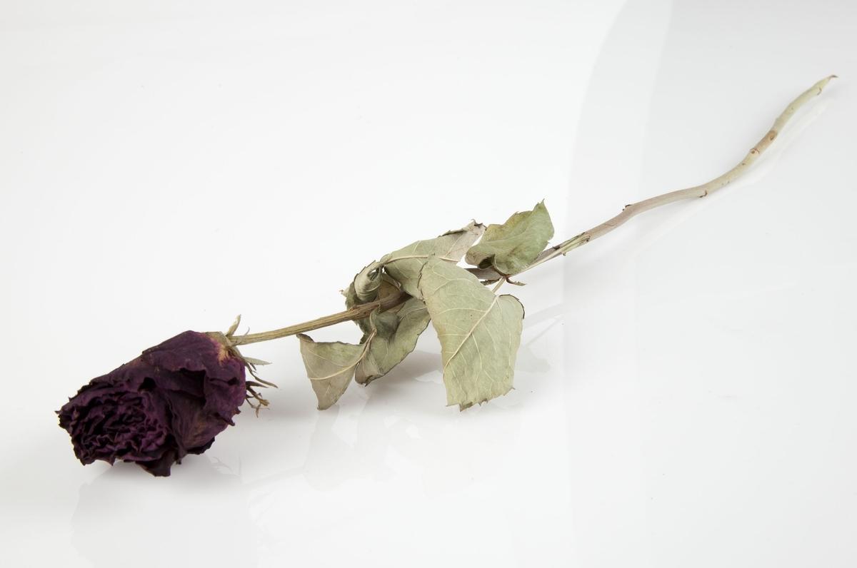 Rose innsamlet etter terrorhandlingen 22. juli 2011 fra minnesmarkeringene i Lillestrøm.   Enkel rød rose hvor selve rosen har mørknet i fargen. Eller er stilk og blader lysnet. De få bladene som er igjen sitter langt oppe på stilken. Stilken er uten torner.