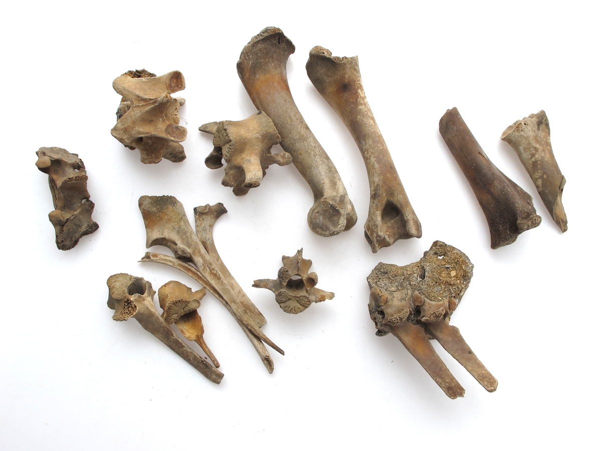 "Svin (Sus scrofa dom) den andre betydelige  proviant, men mere ""styckad"", da det savnes  v. eller h. side av ulike ben. Alle ben  stammer fra individer mellom 1-2 år.  Minst 4 ulike individer, om man tar med de  4 ben fra 1976 års gravning."