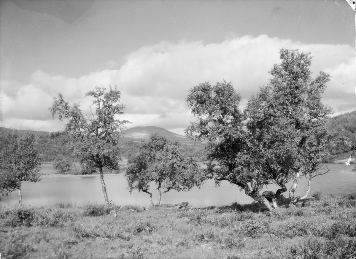 Dovrefjell, ved Kvitdalsvatnet med fjellbjørk