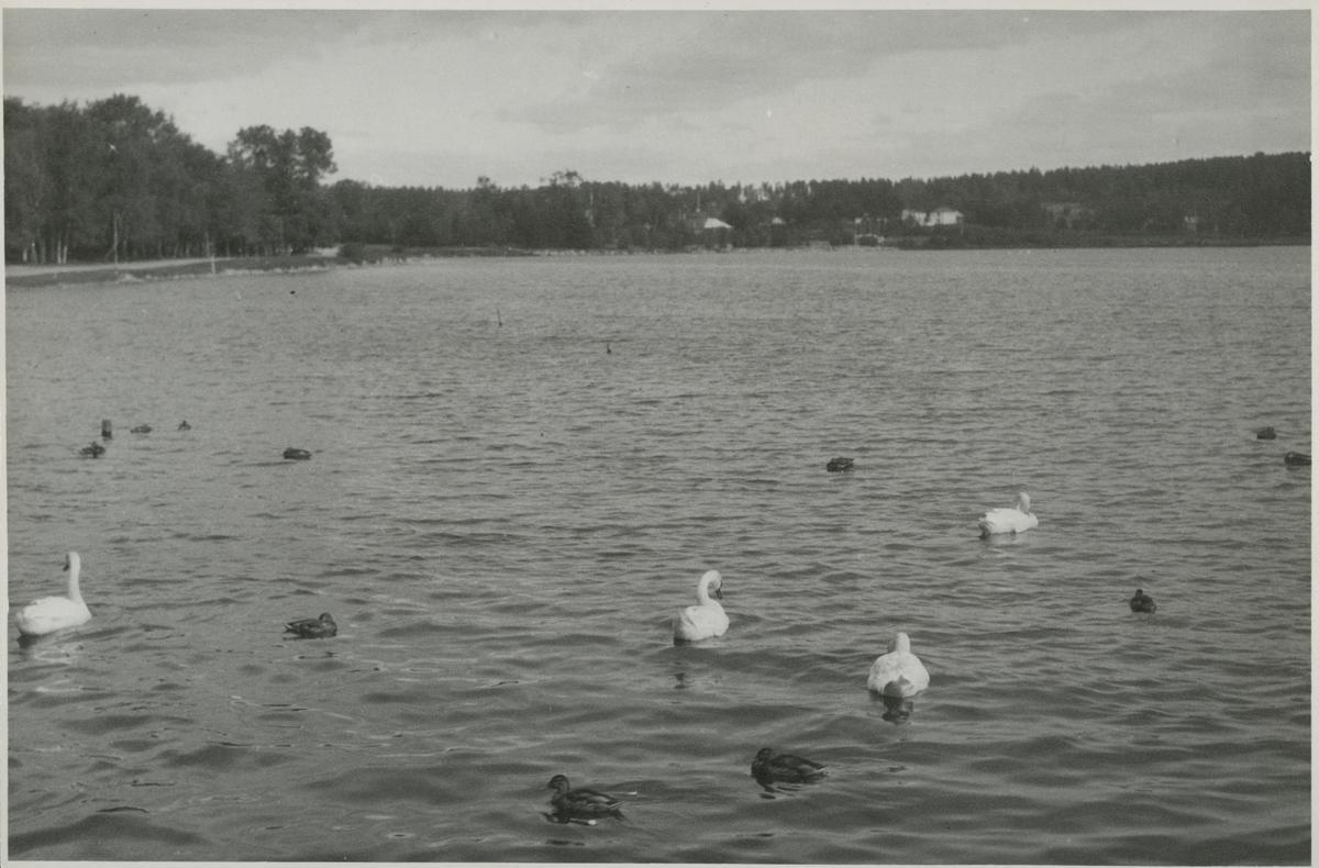 Fåglar vid Lillfjärden i Hudiksvall.
