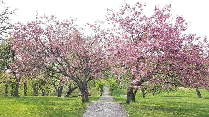 Kirsebærtrær. Rød Herregård i mai.