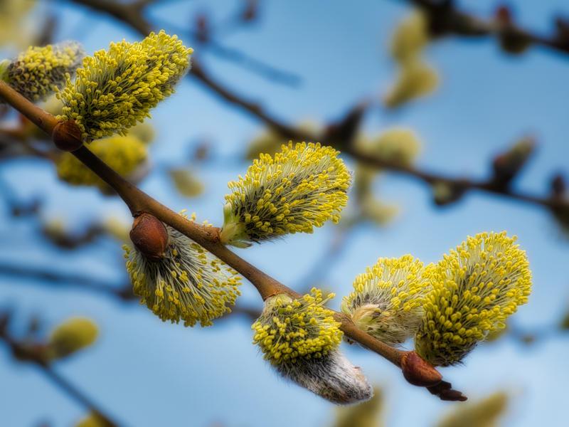 Seljeblomster, «gåsunger», er en viktig matkilde for mange humledronninger tidlig på våren. (Foto/Photo)